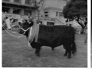 Champion Aberdeen Angus bull, Royal Easter Show, 1961