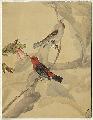 Scarlet. & Black. Honeysucker, 1810 / by I.W. Lewin