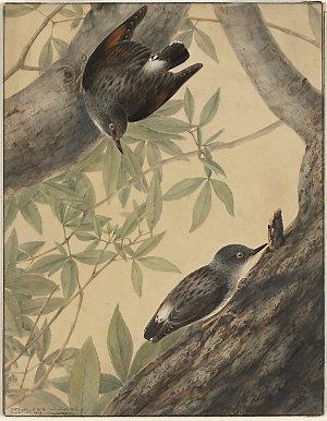 Australien. [i.e. Australian] Nuthatch., 1808 / I.W. Lewin
