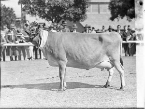 Champion Jersey cow, RAS
