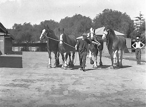 Leading four Clydesdale horses into the ring