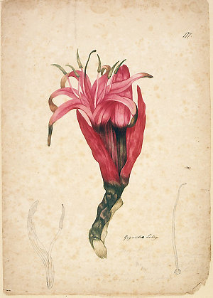 Item 27: Gigantia Lily / [watercolour drawing attributed to John William Lewin]