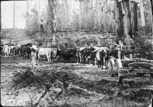 Bullock team with timber-jinker waiting for tree to be felled - Comboyne, NSW