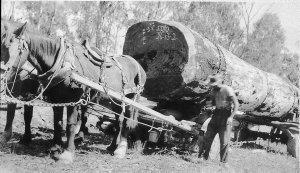Hauling log on horsedrawn timber jinker in Barham Forest - Barham, NSW