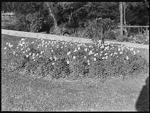 Wattle Day pictures, 5 August 1937 / photographs by Ray Olson