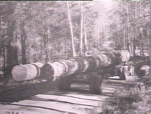 Tallow-wood logs from Clouds Creek Forest