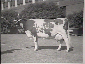 Cattle, Royal Easter Show