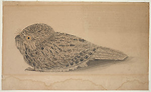 The Night Hawk ... taken in the month of July 1807, in New South Wales / [watercolour of a Juvenile Tawny Frogmouth (Podargus strigoides) attributed to John William Lewin]