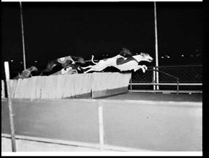 New flexible hurdle for greyhound racing, Wentworth Park