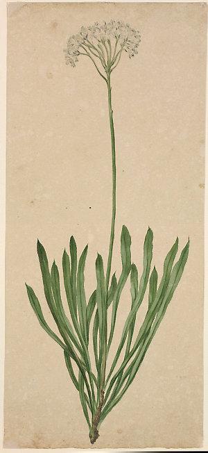 Botanical drawings, pre-1807 / J.W. Lewin