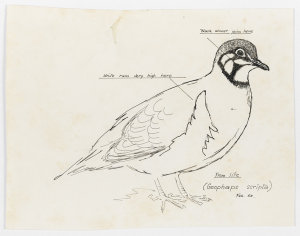 File 62: Squatter pigeon, 1968 / drawn by William T. Cooper