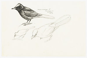 Item 1: Passerines, 1968-2012 / drawn by William T. Cooper