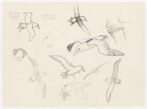 Item 1: Albatross, [1971-2010] / drawn by William T. Cooper