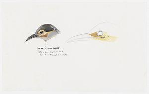 Item 3: Passerines, 1968-2012 / drawn by William T. Cooper