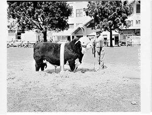 Prize-winning bulls, Royal Easter Show 1966
