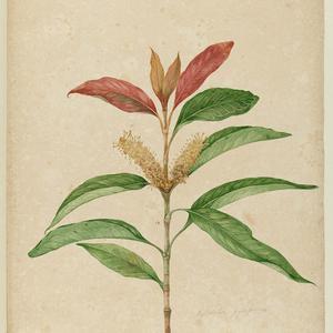 Botanical sketches of Australian plants, 1803-1806 / John Lewin