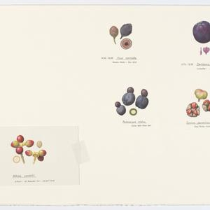 File 3: Fruit drawings. The Original Artwork of William T. Cooper AO from Fruits of the Australian Tropical Rainforest by Wendy Cooper, ca. 2004