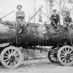 Tallow-wood log on jinker drawn by A A Teague's bullock team at Warrell Creek - Warrell Creek, NSW