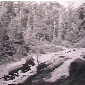 Loading blue gum & tallow-wood: Wild Cattle Creek Forest