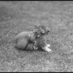 Baby possum, Wahroonga, December 1953 / photographs by Lynch