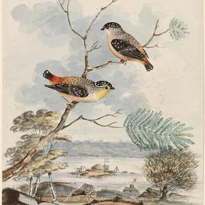 Pipra, M. & F. Speckled Manakins, 1806 / George Prideaux Harris